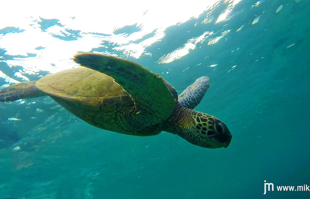 oahu_sharks_cove_turtle